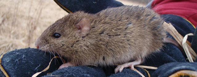 Marsh Rat