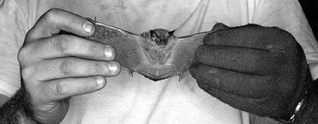 a-joel-bat1