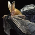 Ozark Big Eared Bat 1