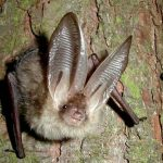 Ozark Big Eared Bat